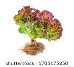 Fresh Red Lettuce With Root...