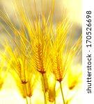 wheat field  | Shutterstock . vector #170526698