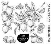 vector sketch citrus fruit... | Shutterstock .eps vector #1705279810