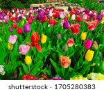 Tulips Of Different Colors...