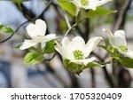 White Flowering Dogwood In Bloom