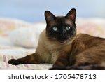 Cat Portrait. Close Up Face Of...