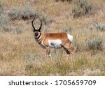 North American Pronghorn...