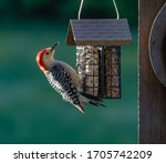 Red Headed Woodpecker Eating...