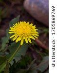 Dandelion Macro Photo. Yellow...