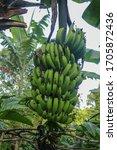 A Bunch Of Green Bananas Ripen...