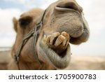 Camel With Dirty Teeth In...