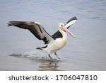 Australian pelican landing on...