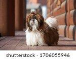 Shih Tzu Dog With Long Groomed...
