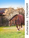 Small photo of Brown old sick horse with caparison in the farm yard in spring sunset.