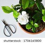 Blooming White Gardenia And...