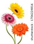 Beautiful Gerbera Daisy Flower...