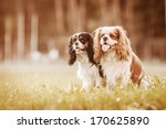 Stock photo two spaniels on a summer outing 170625890