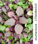 Fresh Red And Green Amaranth Or ...