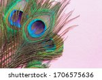 A Peacock Feather On Pink...