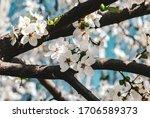 Sakura Petals. Cherry Blossom...