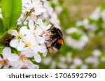 Bumblebee On A Flower Of An...