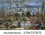 Black Tern  Chlidonias Niger ...