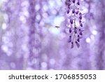 Purple Wisteria Flowers In Japan