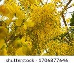 Golden Shower Flowers  Cassia...