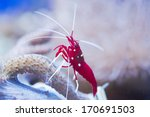 red marine shrimp Lysmata debelius