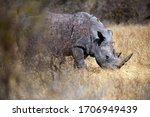 The White Rhinoceros Or Square...