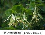 Branch Of Fresh Flowering...