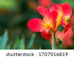 Flower   Blooming Canna Indica...