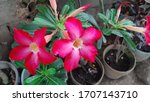 Kalachuchi Flower Plumeria...