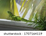 A Brightly Colored Iguana On A ...