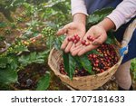Coffee Picker Show Red Cherries ...