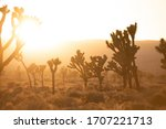 Joshua Trees Silhouetted By...
