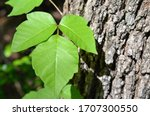 Poison Ivy Is A Climbing Plant...