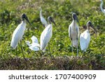 A Flock Of Wood Storks In The...