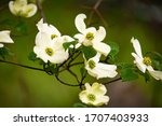 Dogwood flowers on branch in...