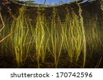 Small photo of Reeds grow along the edge of a shallow freshwater lake in New England. The aquatic vegetation grows riotous during the summer months and then dies off in the fall.