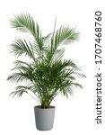 Small photo of Kentia Palm Tree grey in pots. Houseplant isolated on white background