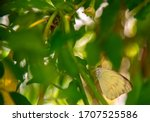 Yellow Butterfly  Phoebis...