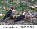 Pair Of Pileated Woodpecker ...
