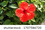 Red Hibiscus In Full Bloom Wit...