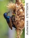 Purple sunbird  male  feeding...
