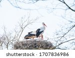 Two Storks In Their Nest  In...
