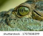 Detail on eye of a crocodile ...