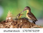 Purple sunbird  female  feeding ...