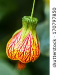 Small photo of Abutilon pictum in a greenhouse of Beijing.