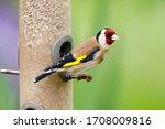 Goldfinch  Carduelis Chloris ...