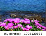 Pink Daisies Blooming In The...