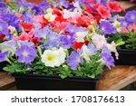 Petunia  Petunias In The Tray...