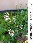 Small photo of Flowers of roquett�other names: rocket salad�eruca sativa�garden rocket�arugula�eruca vesicaria sativa�rocket)