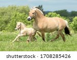 Fjord Horse Mare With Foal...